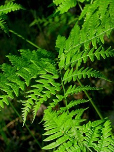 3q-fern leaf closeup